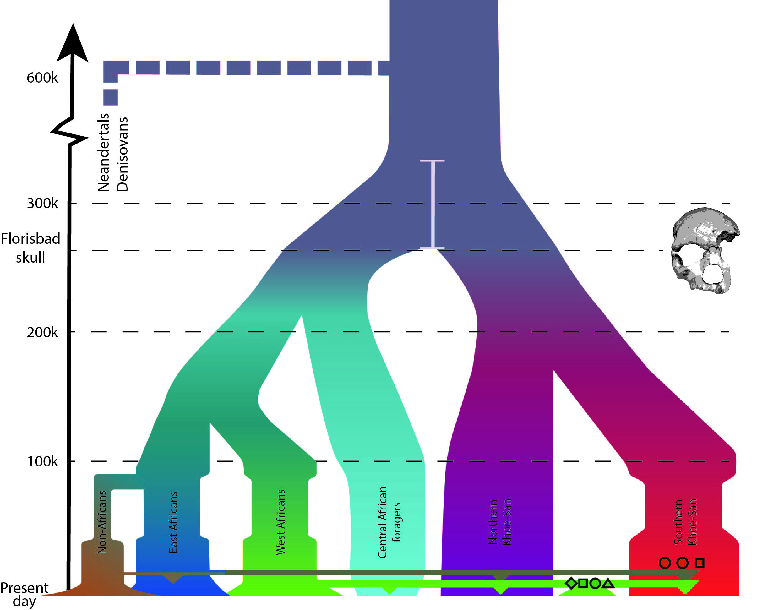 Ancient south africans jakobsson lab demographic model of african history and estimated divergences horizontal colored lines represent migration with down pointing triangles representing biocorpaavc